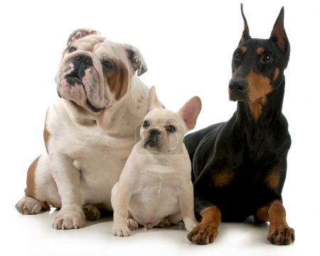Photo for Three different breeds of dogs isolated on white background - french bulldog, english bulldog and doberman pinscher - Royalty Free Image