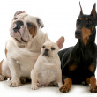 Three different breeds of dogs isolated on white b...