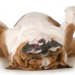 Dog sleeping upside down isolated on white backgro...