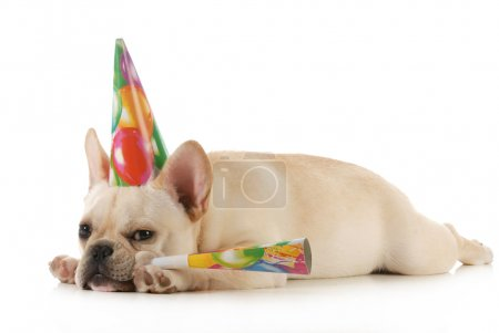 Photo for Birthday dog - grumpy french bulldog wearing birtdhay hat blowing on horn isolated on white background - Royalty Free Image
