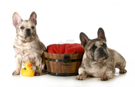Photo for Dirty dogs - two french bulldogs ready for a bath isolated on white background - Royalty Free Image