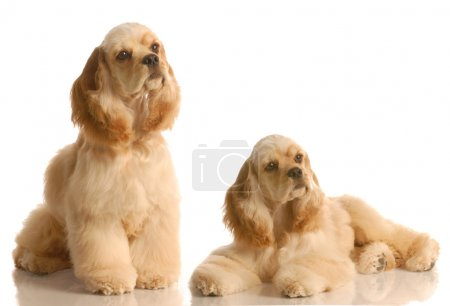 Two american cocker spaniel dogs