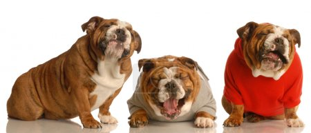 Photo for Big joke - three dogs laughing hysterically - Royalty Free Image