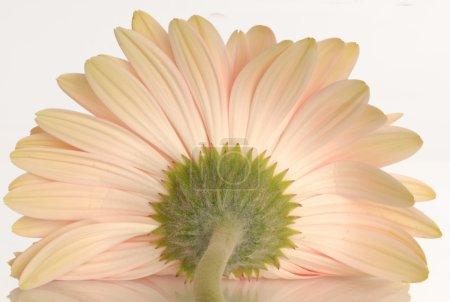 Foto de Flor de gerbera Margarita aislado sobre un fondo blanco - Imagen libre de derechos