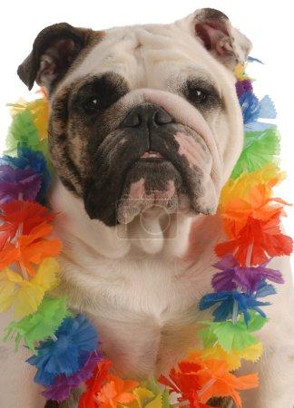 English bulldog dressed up wearing hawaiian le