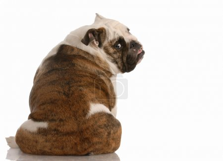 english bulldog sitting with backside