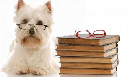 west highland white terrier laying down beside stack of books