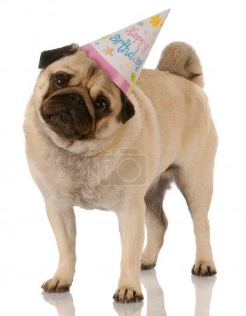 pug standing wearing birthday hat
