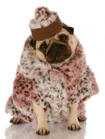 Photo for Pug wearing leopard print fur coat and hat on white background - Royalty Free Image