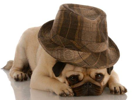 Photo for Pug wearing fashionable fedora on white background - Royalty Free Image
