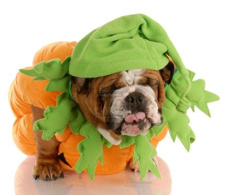 english bulldog dressed up as a pumpkin