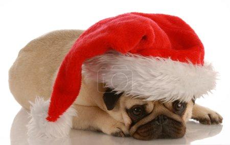 Pug dressed up as santa