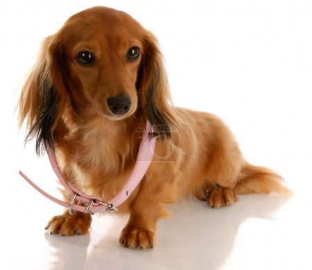 miniature dachshund wearing a dog collar that is too big