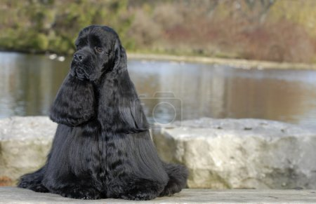 american cocker spaniel sitting by river