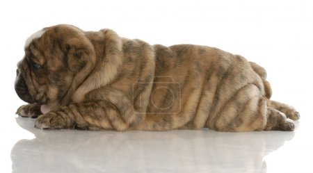 red brindle english bulldog puppy laying down from the side