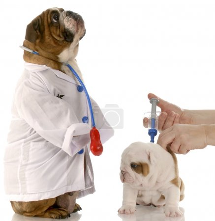 english bulldog doctor standing beside puppy getting vaccinated