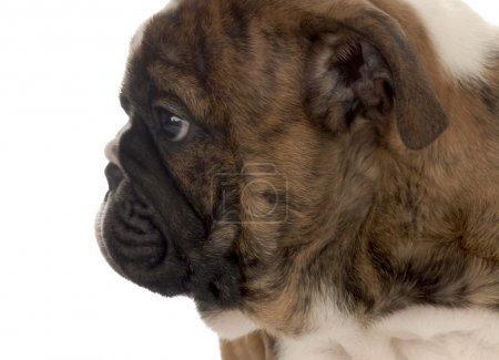 face profile of seven week old english bulldog puppy