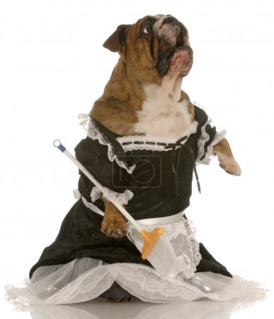 English bulldog wearing maid dress standing up sweeping floor