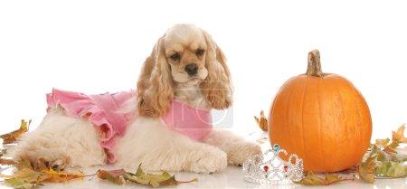 American cocker spaniel dressed as a princess laying beside halloween pumpkin