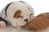 Anglický buldok štěně nošení jearsey žvýkání na baseballové rukavice