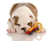 Osm týdnů staré štěně anglický buldok hrát s barevnými psí hračky