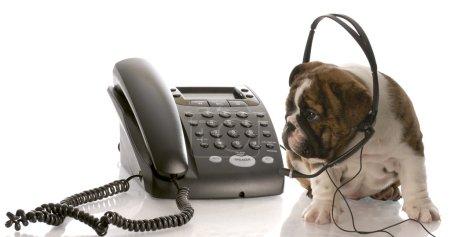 english bulldog puppy wearing headset talking on the phone