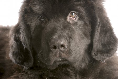 Newfoundland puppy head shot