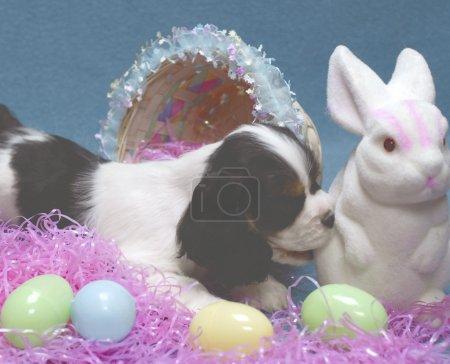 Photo pour Chiot cocker épagneul de 9 semaines mordant l'extrémité inférieure du lapin de Pâques - image libre de droit