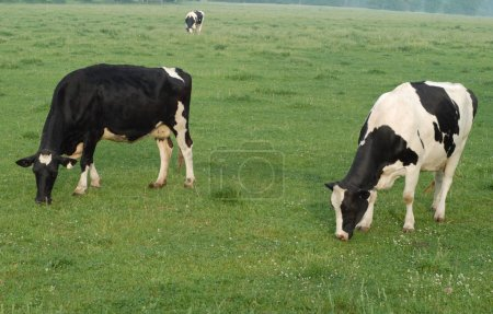 grazing holstein cows in pasture in southwestern ontario