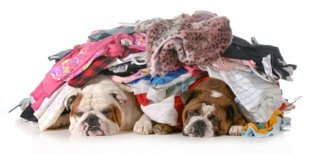 Photo for Spring cleaning - two english bulldogs laying under a pile of clothes isolated on white background - Royalty Free Image