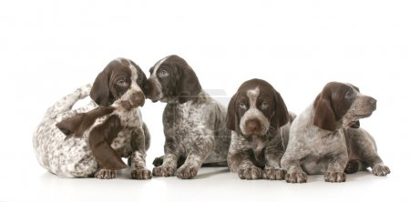 Litter of puppies - five german shorthaired pointe...