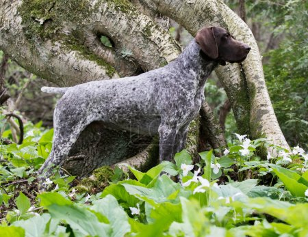 German shorthaired pointer standing in the grass...