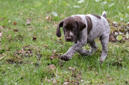 German shorthaired pointer puppy outside in the gr...