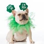 St Patricks Day dog - french bulldog...