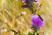 Striped beetle on flower