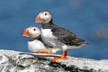 Pair of puffins standing on a rock, Iceland