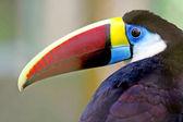 Tukan v lese, amazon, Brazílie