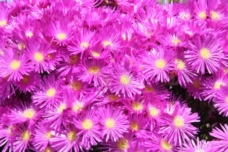 hottentot fig marigold or ice plant