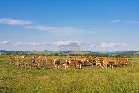 Photo pour Une photo prise avant le coucher du soleil, des vaches, des agriculteurs qui travaillent (avec des visages méconnaissables) - image libre de droit