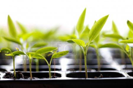 Photo pour Petites plantes vertes en pot poussant de la terre . - image libre de droit