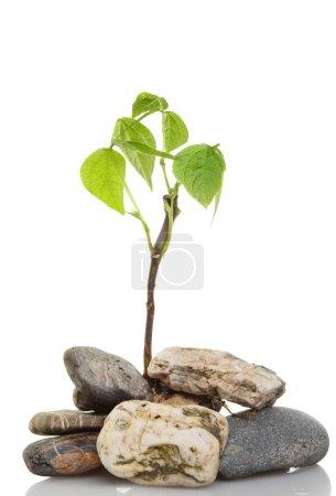 Seedling in pebbles