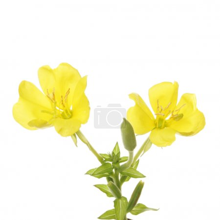 Photo for Evening Primrose flowers and foliage isolated against white - Royalty Free Image