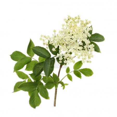 Photo pour Fleurs et feuillage de sureau isolés contre le blanc - image libre de droit
