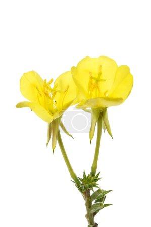 Photo pour Fleurs d'onagre isolés contre blanc - image libre de droit