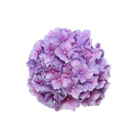 Foto de Fregona cabeza Hortensia flor aislado contra blanco - Imagen libre de derechos