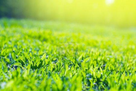 Photo pour Gros plan d'herbe du champ dans les rayons de soleil - image libre de droit