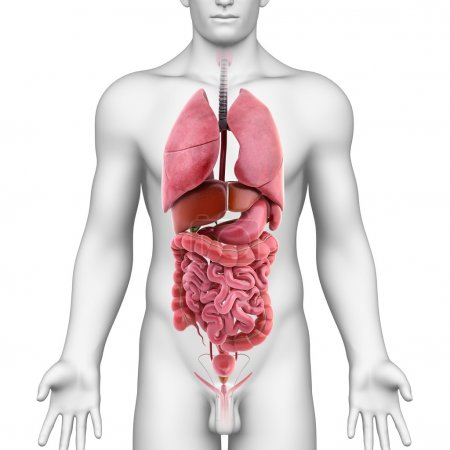 Male digestive and respiratory system