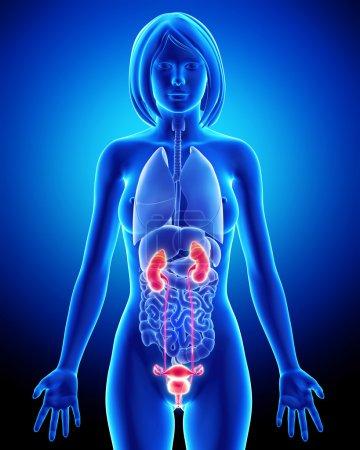 Photo pour Anatomie féminine rein en boucle bleu x-ray - image libre de droit