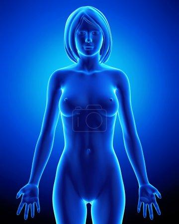 Photo pour Illustration de rendu 3D de l'anatomie du corps de la femme - image libre de droit
