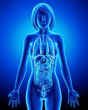 Photo pour Tous les organes du corps de la femme dans la boucle de x-ray bleu - image libre de droit